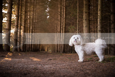 cute fluffy little white dog standing in forest of pine trees
