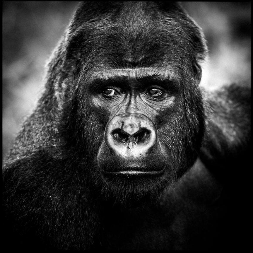 Laurent baheux portrait de gorille 2006 laurent baheux - Dessin d un gorille ...