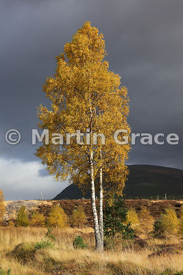 Sunlit autumnal birch tree (Betula sp) in Glen Feshie, Badenoch & Strathspey, Inverness-shire, Scotland