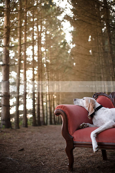 porcelaine hound lounging on antique settee in pine forest