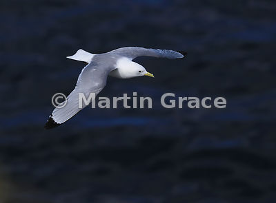Black-Legged Kittiwake (Rissa tridactyla) in flight over the sea, Hafnarholmi, Austurland (Eastern Region, East Iceland), Iceland