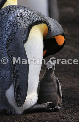 King Penguin (Aptenodytes patagonicus) preens itself while its chick watches the photographer! Volunteer Point, East Falkland, Falkland Islands