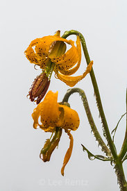 Columbia Tiger Lily on Mount Townsend in Olympic National Forest
