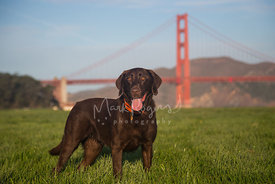 Chocolate Labrador Retriever with Red Collar Standing in Front of Golden Gate Bridge