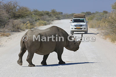 Black or Hook-Lipped Rhinoceros (Diceros bicornis) crossing a road in Etosha National Park, with vehicle, Etosha, Namibia