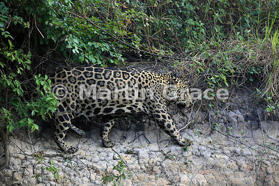 Male Jaguar (Panthera onca) known as Marley works his way along the riverbank, River Cuiabá, Northern Pantanal, Mato Grosso, Brazil