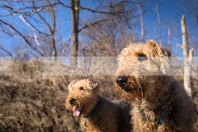 closeup headshot of two airedale terriers in sunshine