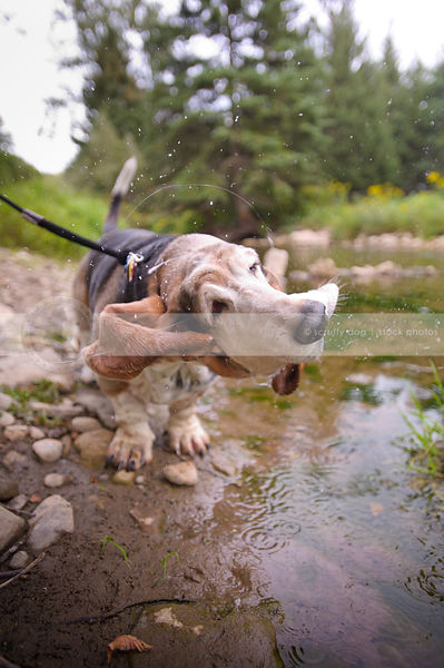 humorous old jowly dog shaking spraying water in stream
