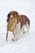 Springer Spaniel with pheasant
