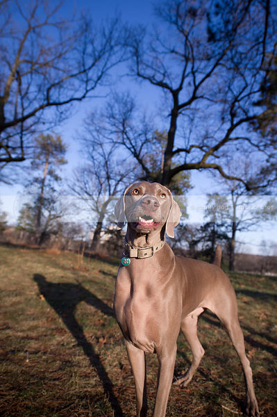 grey weimaraner dog with teeth looking skyward posing in park