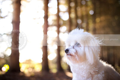 closeup headshot of white havanese dog sitting in a pine forest