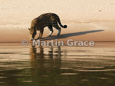 Female Jaguar 'Hunter' approaches the water, the evening sunlight casting very long shadows, Three Brothers River, Northern Pantanal, Mato Grosso, Brazil. Image 28 of 62; elapsed time 39mins