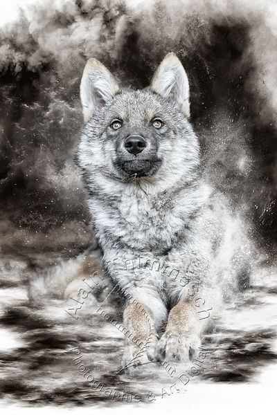 Art-Digital-Alain-Thimmesch-Loup-48