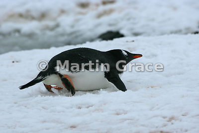 Gentoo Penguin (Pygoscelis papua) tobogganing on snow, Petermann Island, Antarctic Peninsula