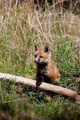 Red Fox_MG_5234