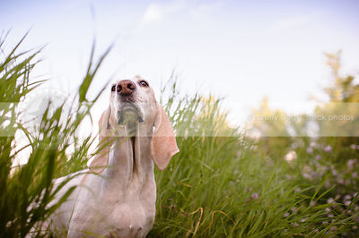low angle stock photograph of porcelaine hound in tall grasses