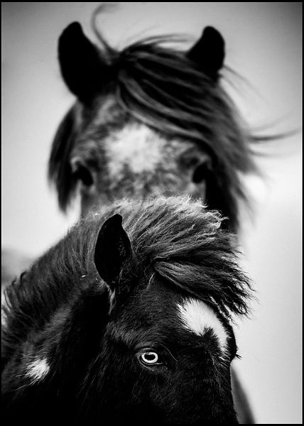 Black and White eyes of wild horses, Iceland 2015 © Laurent Baheux
