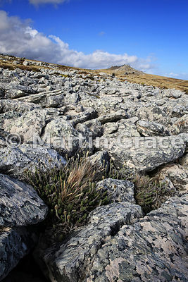Snake Plant (Nassauvia serpens), East Falkland, Falkland Islands