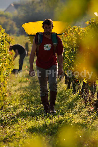 VENDANGES, INDRE ET LOIRE, FRANCE//GRAPE HARVEST, INDRE ET LOIRE, FRANCE