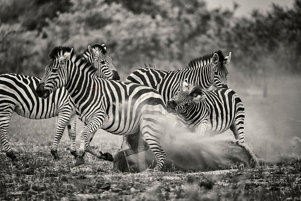 Male Burchell's Zebra Fighting