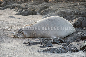 hawaiian_monk_seal_big_island_02062015-4