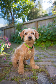 Cute Terrier Mix Puppy Sitting in Garden