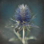 Thistle Flower, Botanical Gallery
