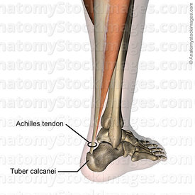 lowerleg-achilles-tendon-back-skin-names