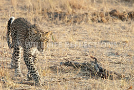 leopard_walking