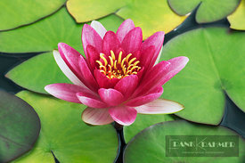 Water lily hybrid (nymphaea)  - Europe, Germany, Bavaria, Upper Bavaria, Munich - digital