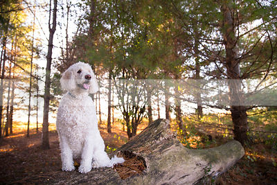 groomed cross breed dog sitting on log in pine trees
