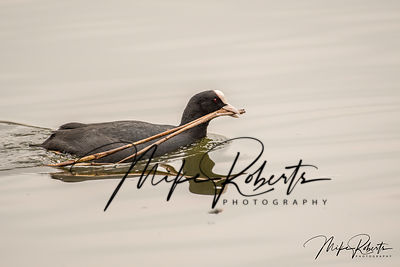 Coot with nesting matterial
