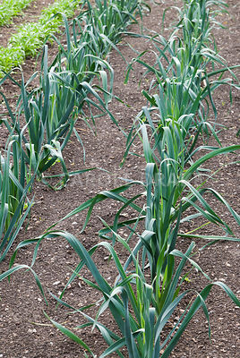 Rows of leeks. Clovelly Court, Bideford, Devon, UK