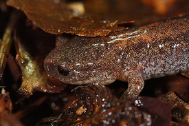 Plethodon cinereus