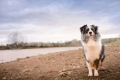 australian shepherds photos