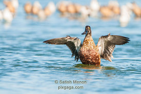 Northern Shoveler, Redwood Shores, CA, USA