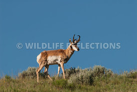 pronghorn_buck_skyline