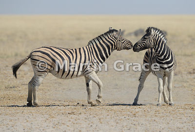 Two Plains Zebras (Equus burchellii) toughing noses before starting to fight, Etosha National Park, Namibia