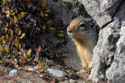 A ground squirrel (sp.) peaks out of a little rock cave in the meadows of Wilcox Pass, Jasper NP, Canadian Rockies