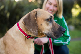 Profile Close-up of Large Brown Rhodesian Ridgeback  in Red Leash with Woman in Background