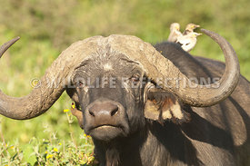 cape_buffalo_curl_horn_1