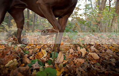 closeup of brown dog legs pointing in autumn leaves