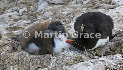 Young Southern Rockhopper Penguin (Eudyptes chrysocome chrysocome) on the nest, being groomed by one of its parents, Sea Lion Island, Falkland Islands