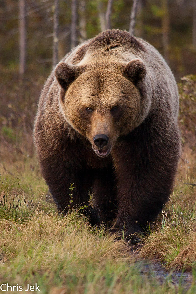 Brown bears in Finland photos