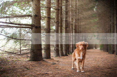 red toller dog staring posing in tunnel of pine trees