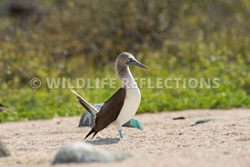 blue_footed_booby_north_seymour-48