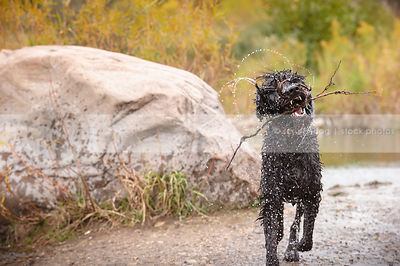 humorous black shaggy soaking wet dog shaking and carrying stick by river