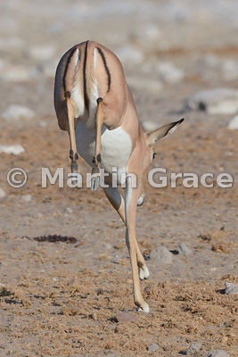 Showing a clean pair of heels - a female Black-Faced Impala (Aepyceros melampus petersi) leaps away from the camera, Etosha National Park, Namibia