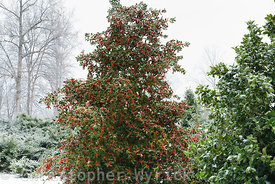 Frozen holly tree and birds