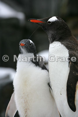 Adult Gentoo Penguin (Pygoscelis papua) and its chick, Petermann Island, Antarctic Peninsula